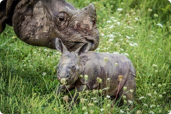 В сафари-парке The Wilds родился индийский носорог