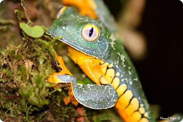 Причудливая квакша (лат. Cruziohyla craspedopus)