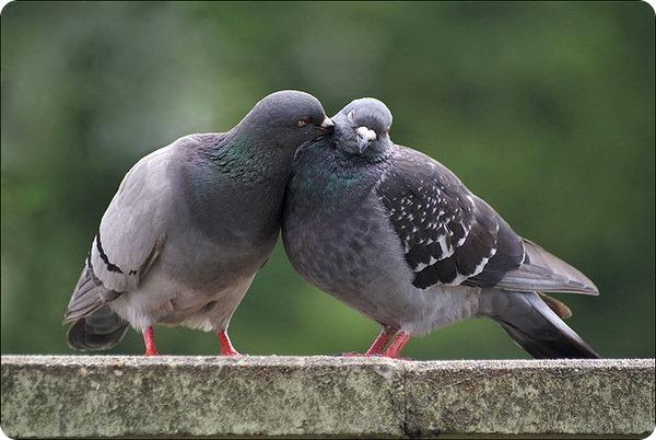 Сизый голубь (лат. Columba livia)