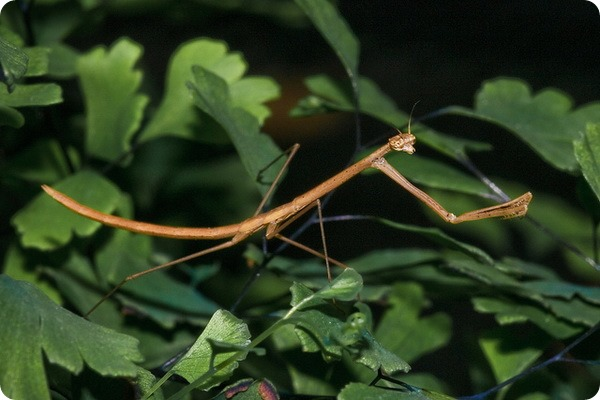 Американский травяной богомол (лат. Thesprotia graminis)
