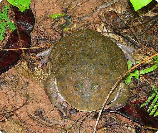 Злая щитоспинка или лягушка Баджита (лат. Lepidobatrachus laevis)