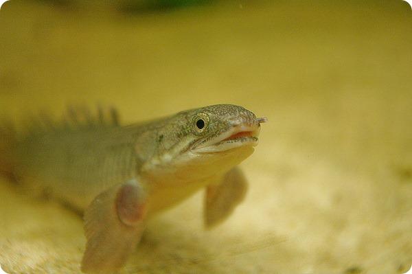 Можно ли рыбу научить ходить?