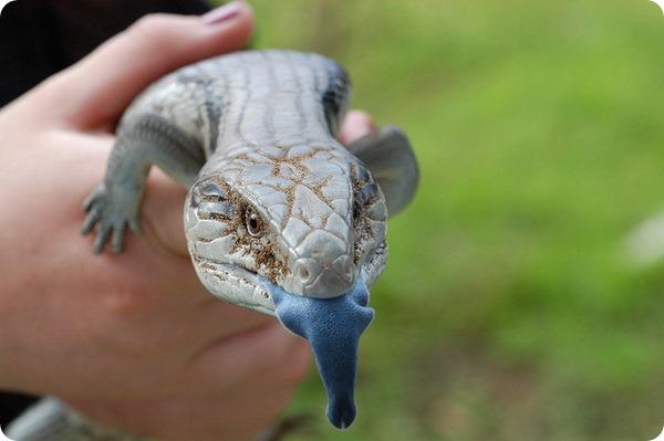 Обыкновенная исполинская ящерица или синеязыкий сцинк (лат. Tiliqua scincoides)