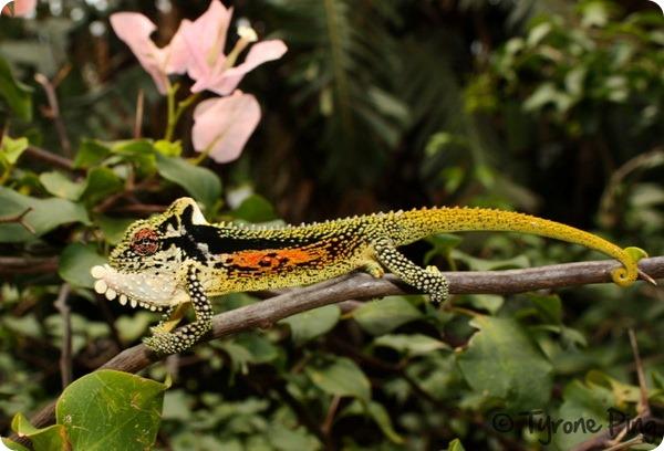 Горный карликовый хамелеон (лат. Bradypodion thamnobates)