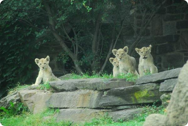 Львиная семья из зоопарка Филадельфии