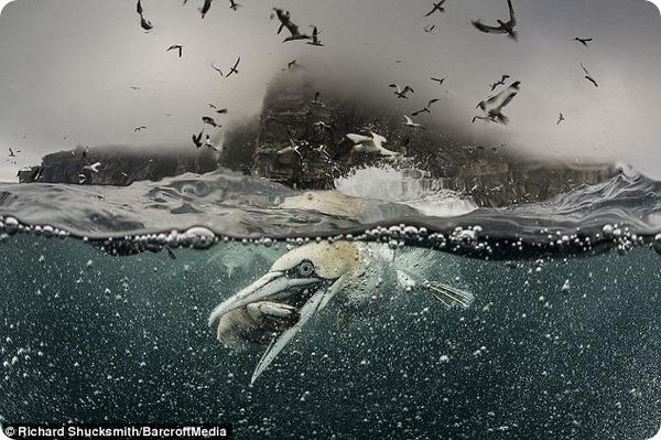 Охота морских птиц вблизи Шетландских островов