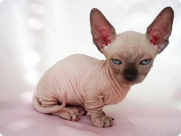 Бамбино - кошка-такса