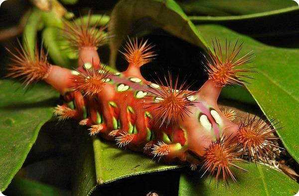 Гусеница-клоун из семейства Limacodidae