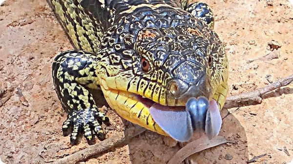 Черно-желтая исполинская ящерица (лат. Tiliqua nigrolutea)