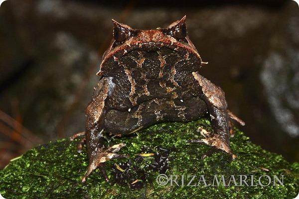 Рогатая горная чесночница (лат. Megophrys montana)