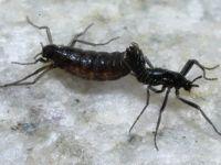 Антарктический комар — насекомое с самым маленьким геномом
