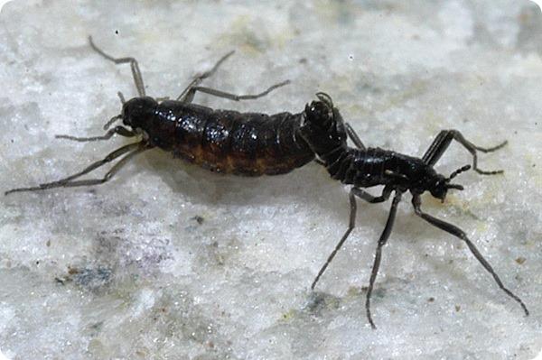 антарктический комар-звонец (лат. Belgica antarctica)