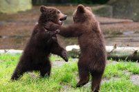 Веселые медвежата из зоопарка Гагенбек