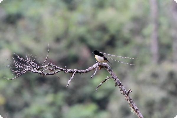 Чешуйчатая райская птица (лат. Pteridophora alberti)