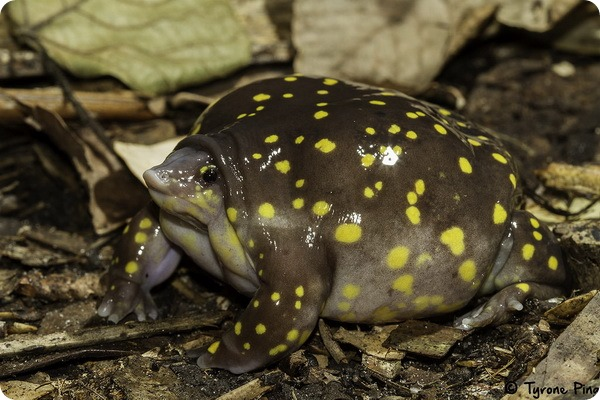 Пятнистая лягушка-поросенок (лат. Hemisus guttatus)