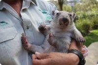 Зоопарк Таронга представил сиротку-вомбата Хлою
