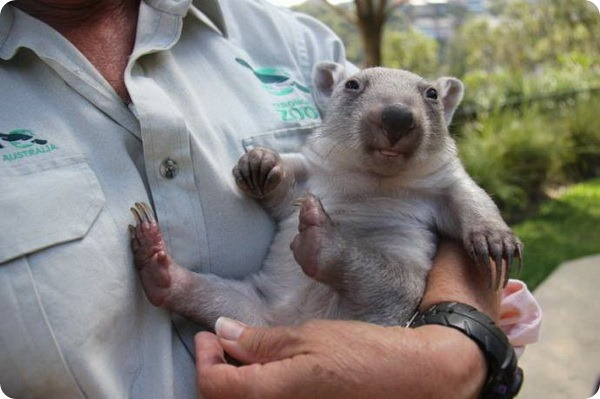 Зоопарк Таронга представив сирітку-вомбата Хлою - все про тварин