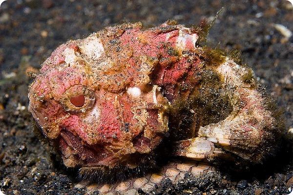 Тихоокеанская бородавчатка (лат. Erosa erosa)
