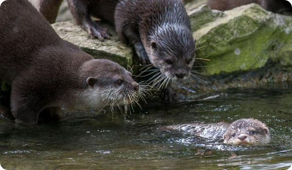 Выдрята из зоопарка Берлина учатся плавать