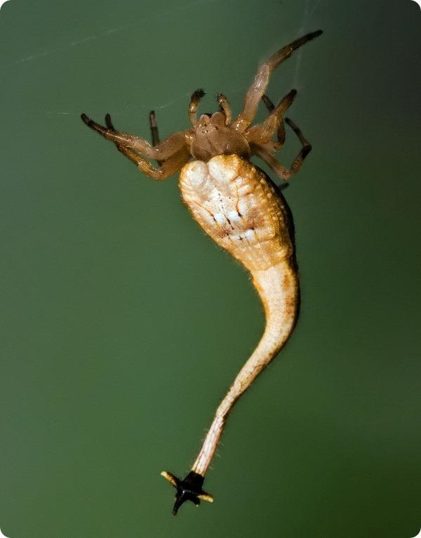 Скорпионохвостый паук (лат.Arachnura higginsi)