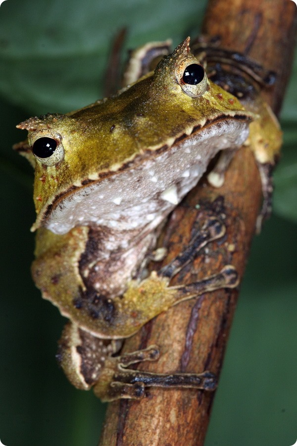 Клыкастая квакша (лат. Hemiphractus fasciatus)
