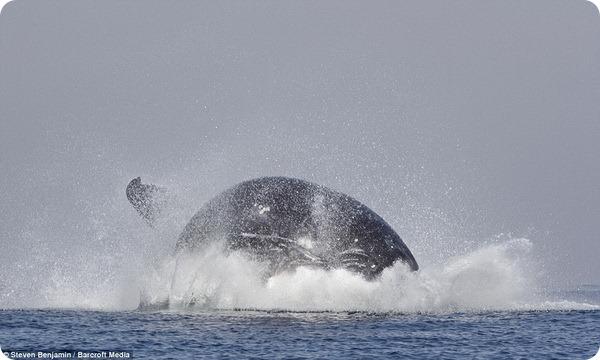 Горбатый кит выпрыгивает из воды у берегов Южной Африки