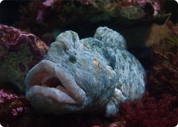 Цебидихтис (лат. Cebidichthys violaceus)
