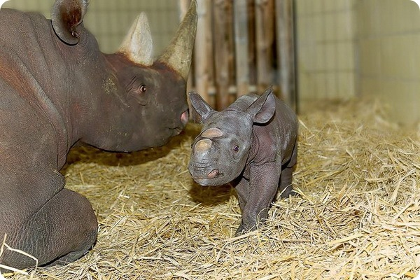 Зоопарк Берлина представил детеныша черного носорога