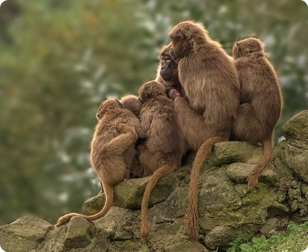 Семья гелад из немецкого зоопарка NaturZoo