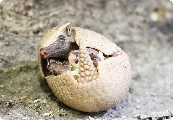 В зоопарке Эдинбурга подрастает детеныш броненосца