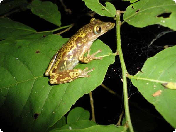 Лопатоносая квакша (лат. Diaglena spatulata)