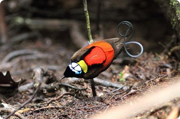Синеголовая великолепная райская птица (лат. Cicinnurus respublica)