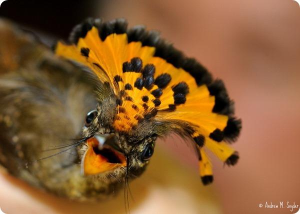 Амазонский венценосный мухоед (лат. Onychorhynchus coronatus coronatus)