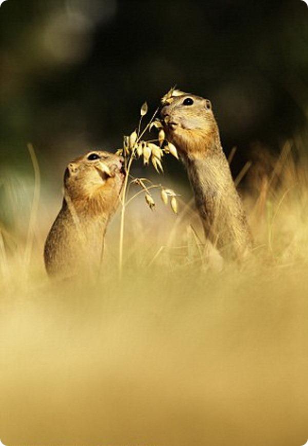 Суслики из парка дикой природы Радуч в Чехии