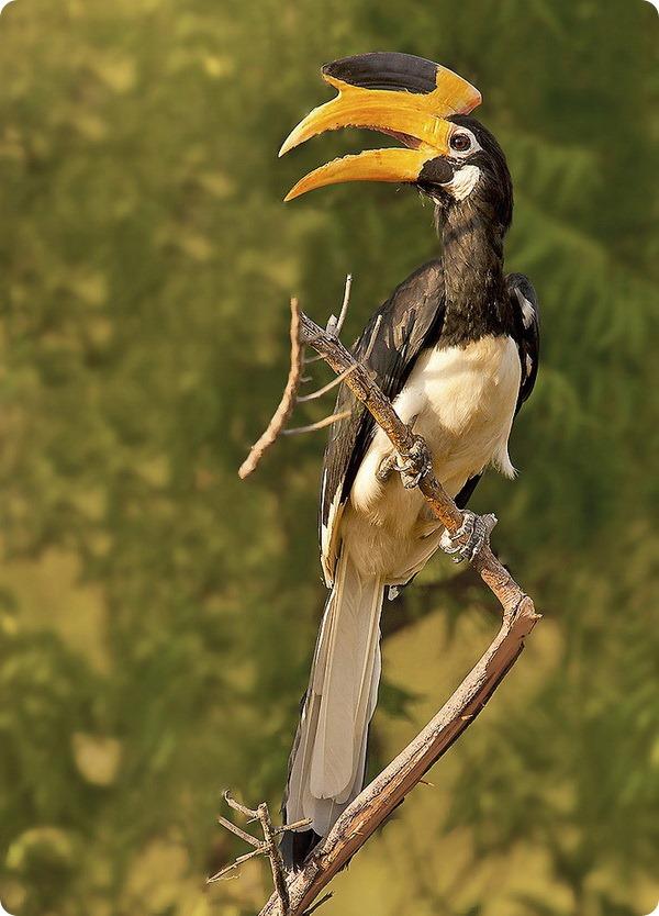Индийская птица-носорог (лат. Anthracoceros coronatus)
