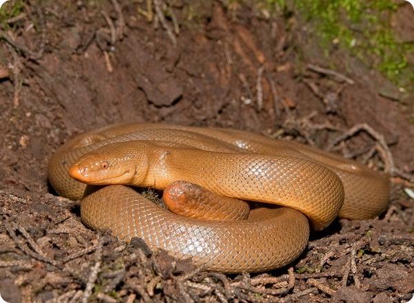 Резиновая змея (лат. Charina bottae)
