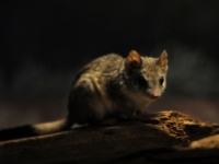 Двугребнехвостая сумчатая мышь