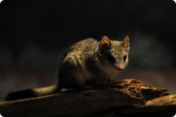 Двугребнехвостая сумчатая мышь (лат. Dasyuroides byrnei)