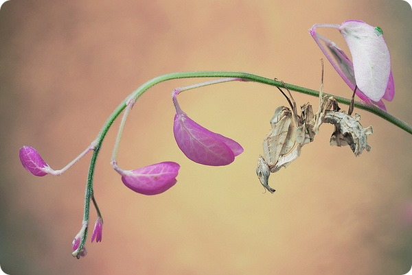 Богомол Чертов цветок (лат. Idolomantis diabolica)