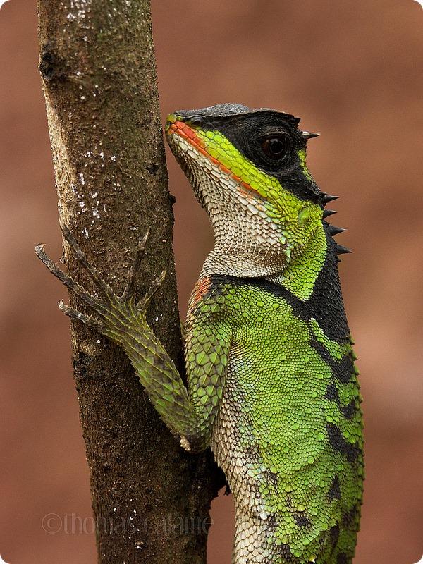 Коричневый акантозавр (лат. Acanthosaura lepidogaster)
