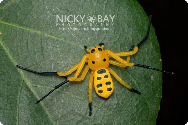 Восьмиточечный паук-краб (лат. Platythomisus octomaculatus)