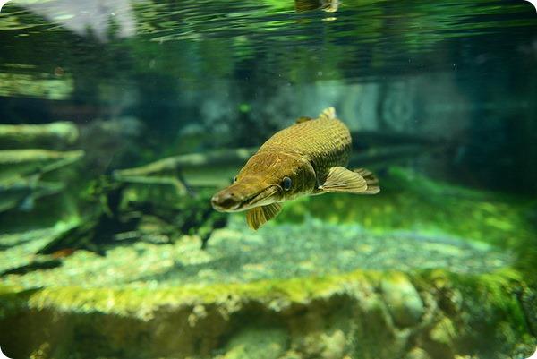 Аллигаторова щука или миссисипский панцирник (лат. Atractosteus spatula)