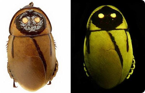 Светящиеся тараканы Lucihormetica luckae