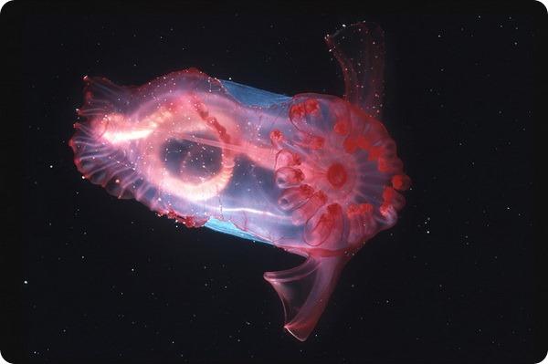 Розовый морской огурец (лат. Enypniastes eximia)