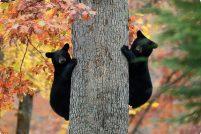 Маленькие медвежата из Пенсильвании