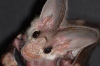 В зоопарке Таронга родился детеныш ложного вампира