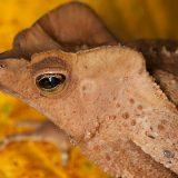 Гребенчатоголовая жаба