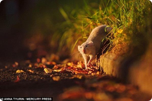 Крысы-милашки от фотографа Анны Тюриной
