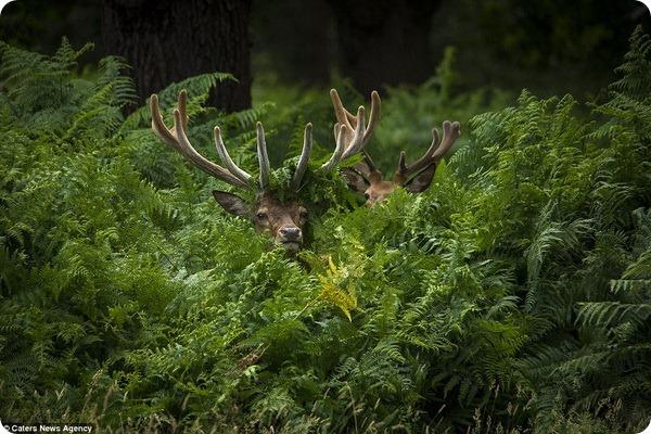 У оленей в лондонском Ричмонд-парке начался гон