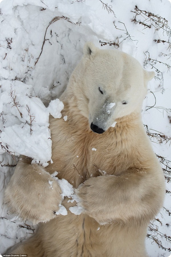Любопытный полярный медведь из Черчилля